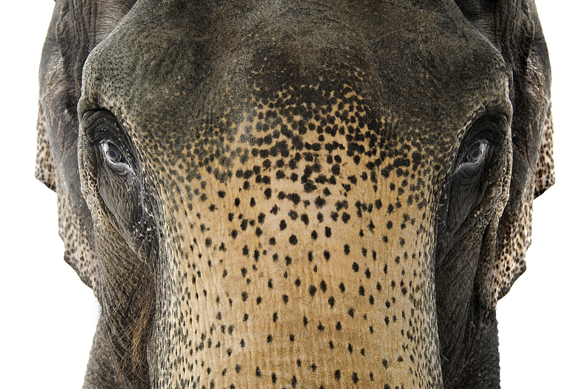 Steve Grubman Photography elephant face